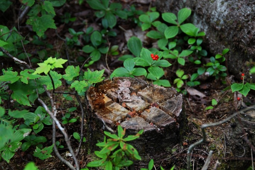 Tree Stump and Berries
