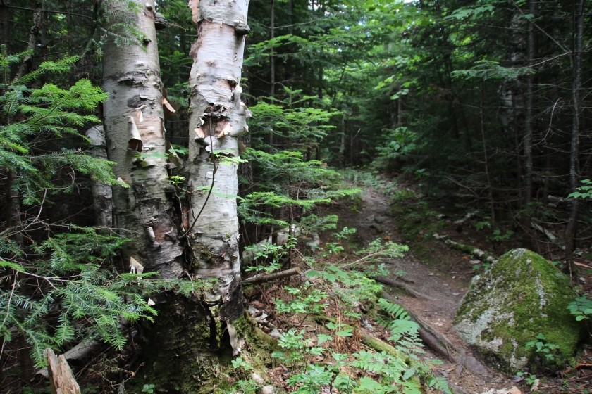 White Birch Trees on Path