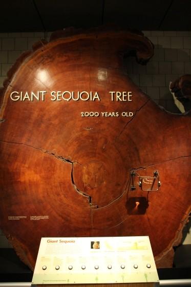 Ancient Sequoia