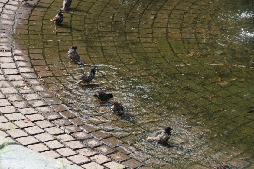 Starling Bathtime