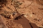 Plateau Side Blotched Lizard
