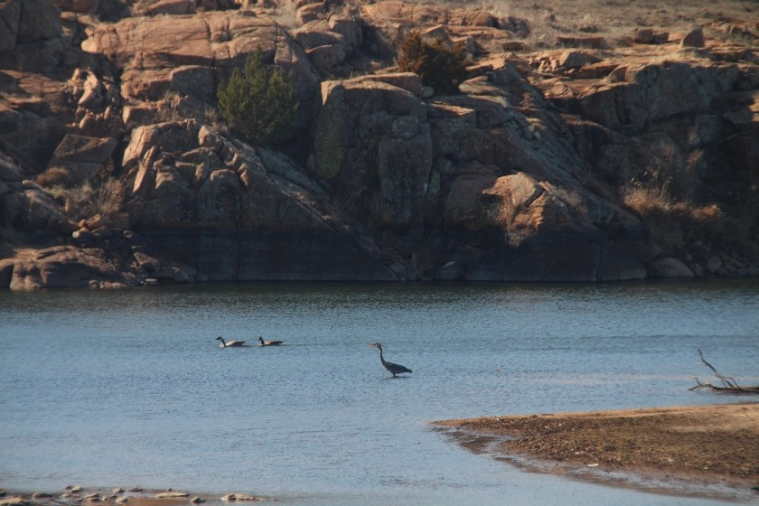 Great Blue Heron and Canadian Geese