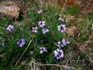 Prairie Verbena Flowers