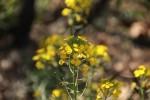 Field Mustard Flower