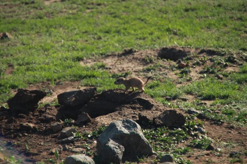Prairie Dog Pup