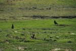 Prairie Dog and Crow