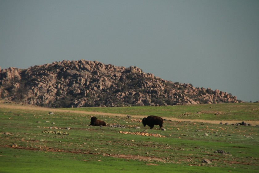 Great Plains Bison