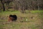 Great Plains Bison and Cattle Egrets