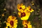 Greenthread Flower - Thelesperma Filifolium