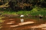 Snowy Egret Fishing Dance