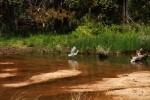 Snowy Egret Corraling Fish