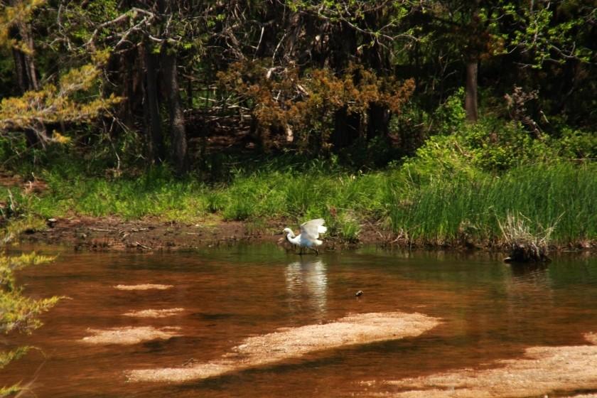 Snowy Egret Chasing Fish