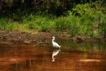 Snowy Egret Tracking Fish