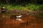 Snowy Egret Ready to Strike