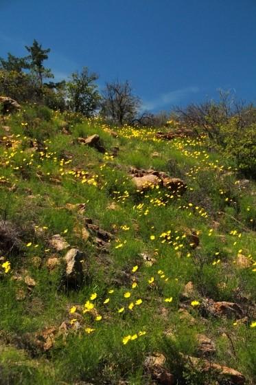 Lanceleaf Coreopsis Hillside
