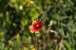 Firewheel Blanketflower