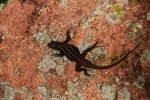 Eastern Fence Lizard on Rock