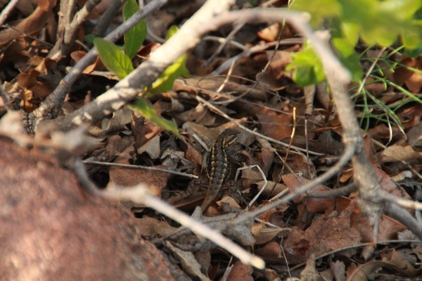 Eastern Fence Lizard in Brush