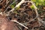 Eastern Fence Lizard in Brush