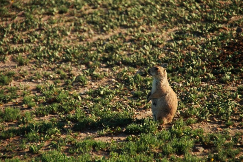 Prairie Dog on Watch