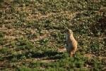 Prairie Dog on Watch