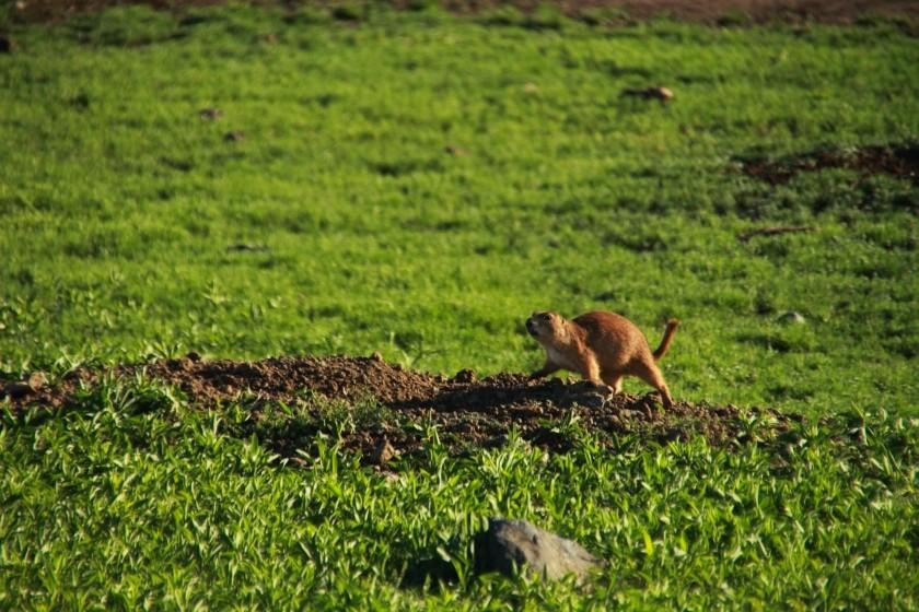 Prairie Dog Strut