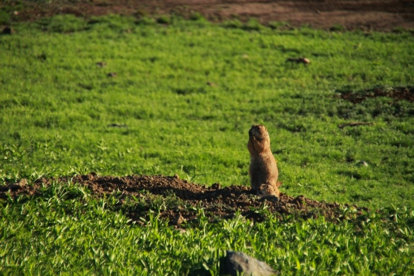 Prairie Dog Grooming