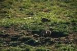 Prairie Dog Nuzzles