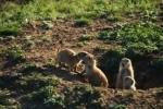 Prairie Dog Group