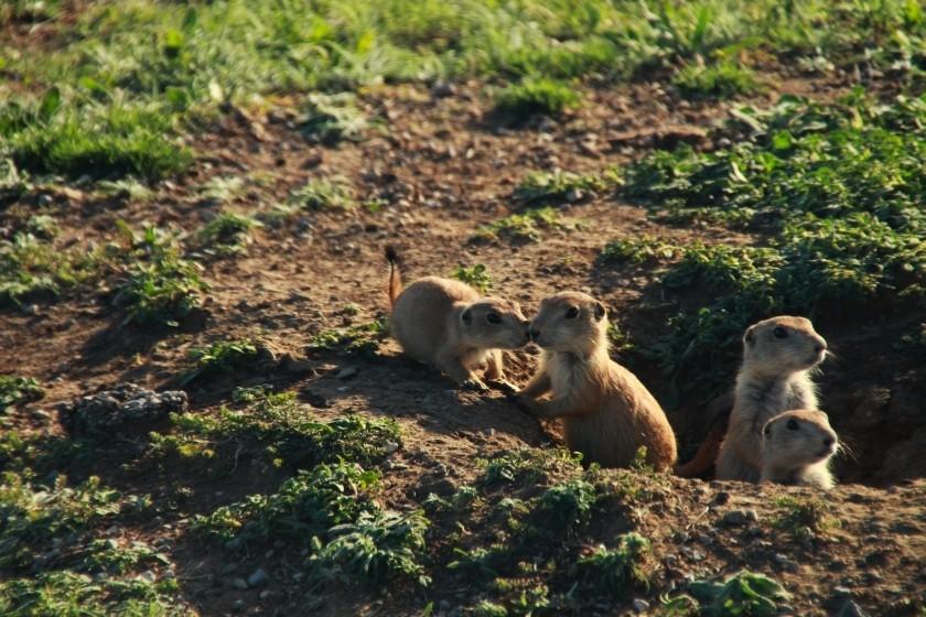 Prairie Dog Nuzzling