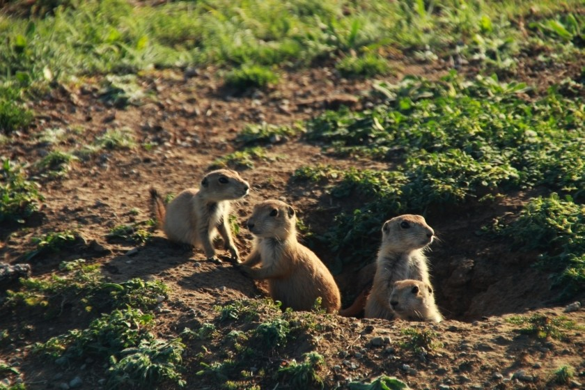 Prairie Dog Lookouts