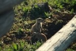Prairie Dogs Foraging