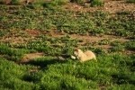 Prairie Dog Eating Grass