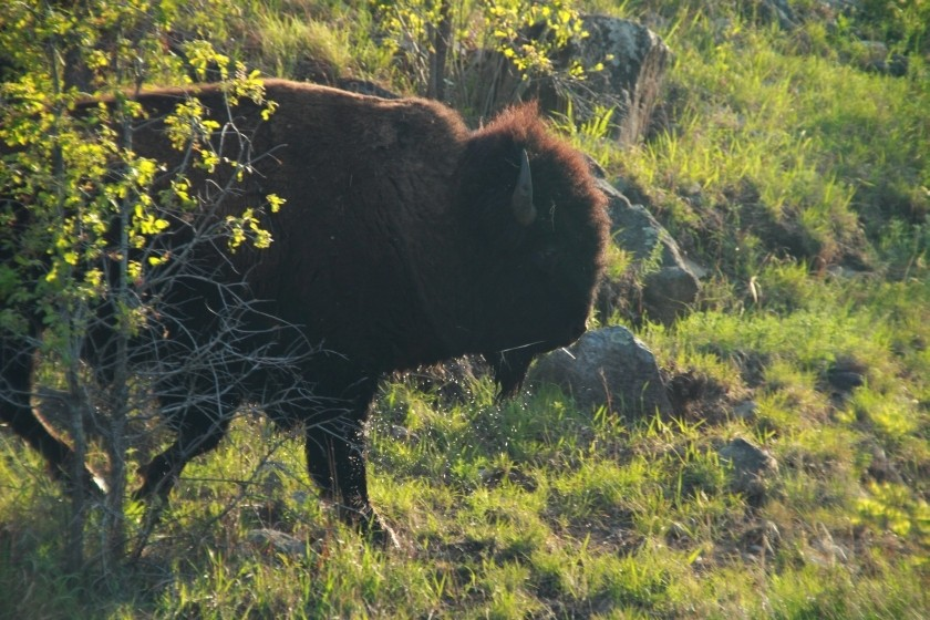 Plains Bison After River