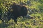 Plains Bison After River