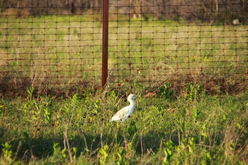 Cattle Egret Foraging