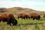 Plains Bison Grazing