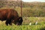 Plains Bison and Cattle Egrets