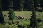 RMNP Elk Herd