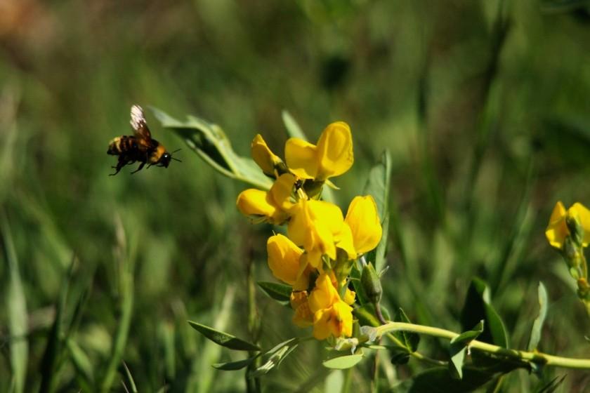 RMNP Bee