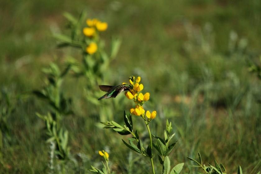 RMNP Broad-Tailed Hummingbird