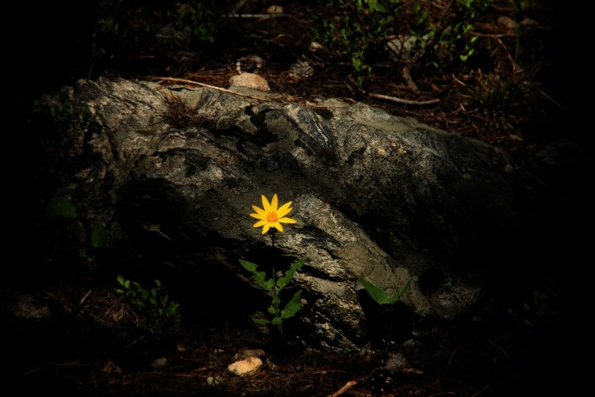 RMNP Heartleaf Arnica