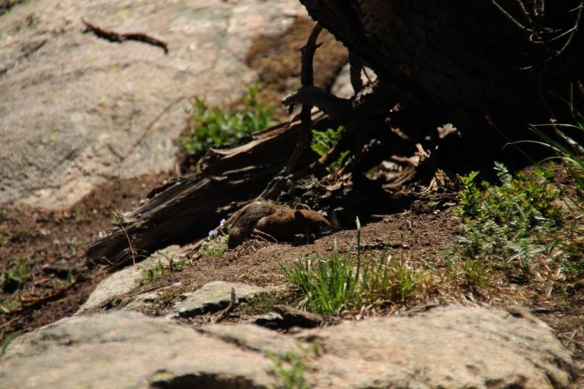 RMNP Golden Mantle Ground Squirrel