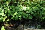 RMNP Stream Plants