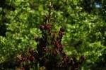 RMNP Engelmann Spruce Baby Pine Cones
