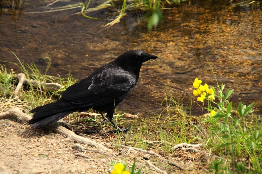 RMNP Crow and Mountain Golden Pea