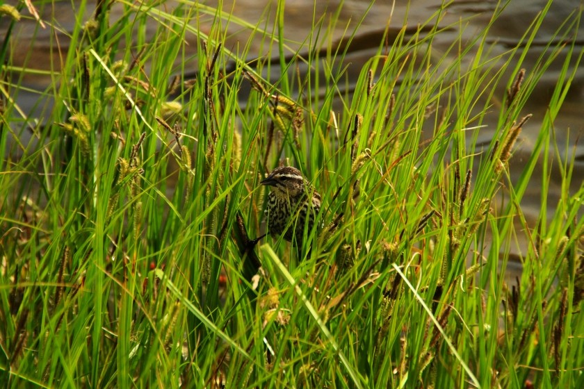 RMNP Female Red-Winged Blackbird