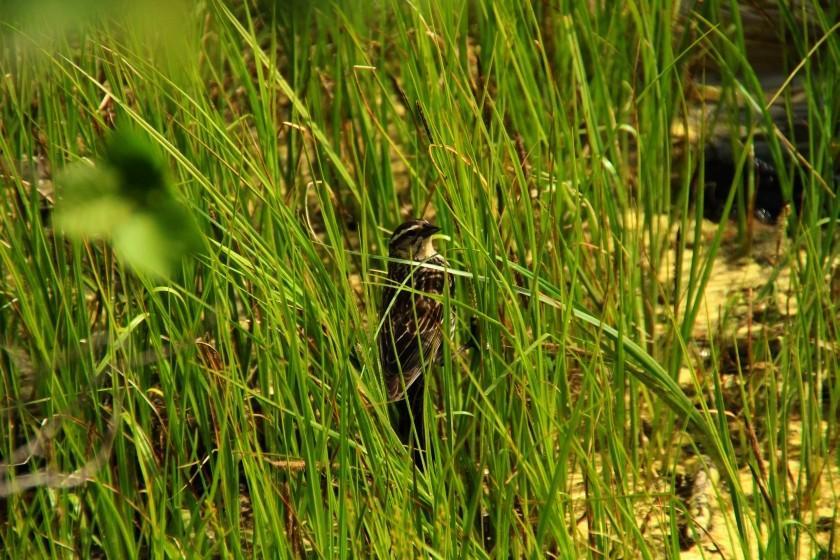 RMNP Female Red-Winged Blackbird