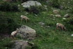 RMNP Big Horn Sheep