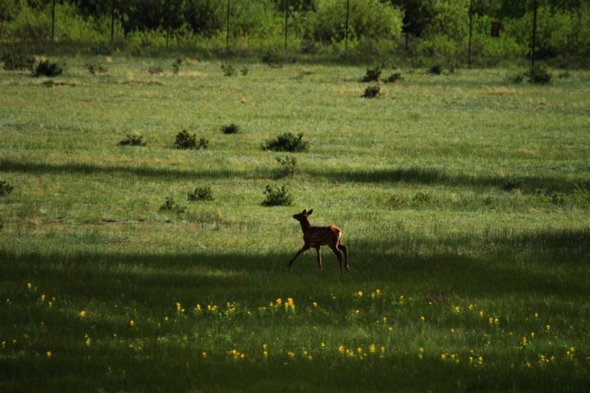RMNP Elk Fawn Prancing